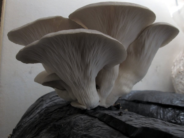 Oyster-mushrooms-funguys-1